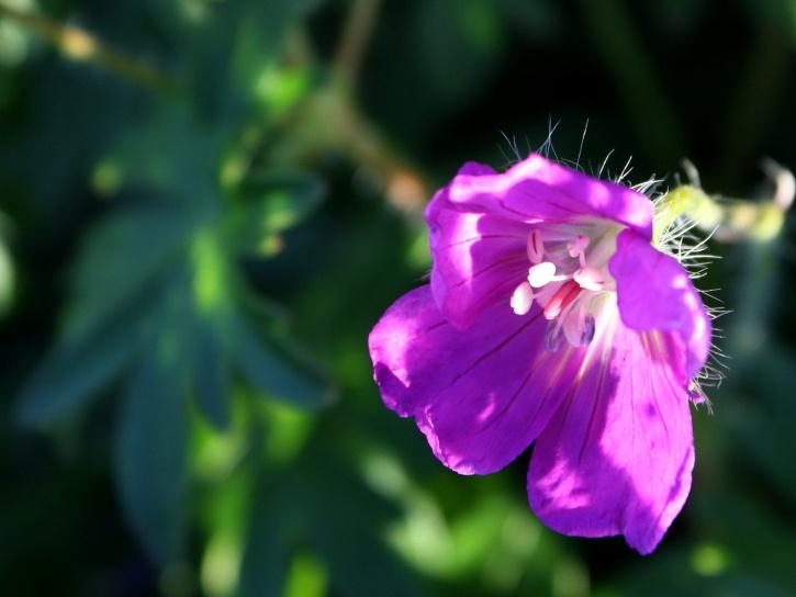 lilla, blomst, suntays, store kronblad, pistil, pollen