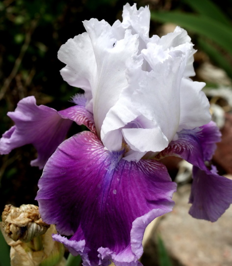 purple, white petals, iris, flower