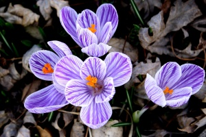 crocus flower, purple, white, striped petals, pistil, pollen