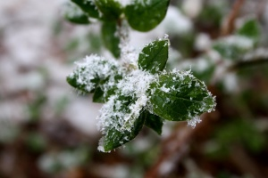 green plants, snowflakes, winter, snow, leaves