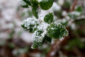 zelene biljke, pahuljice, zima, snijeg, lišće