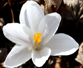 бели венчелистчета, плодник, цветен прашец, минзухар