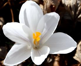 white petals, pistil, pollen, crocus flower