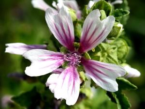 białe płatki, słupek, pyłek, różowy, kwiat malwy, paski płatki
