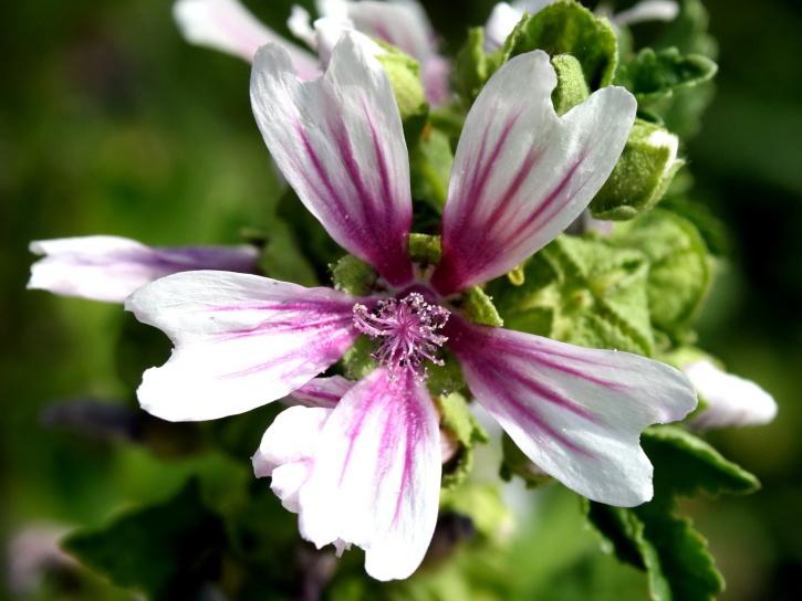 mallow flower, white petals, pistil, pollen, pink, stripes petals