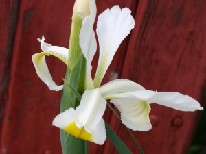 iris, flowers, white petals, green stalk