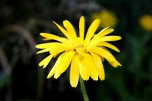 yellow flower, skinny, petals