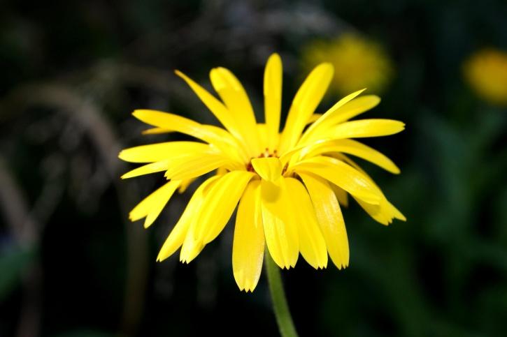 yellow flower, skinny, petals