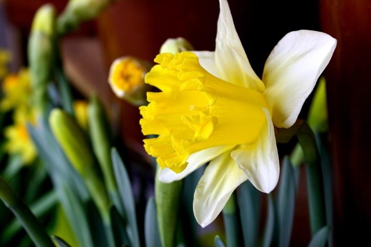 daffodil flower, green stalk, yellow pettals, pistil