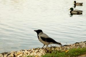 dyr, kråke, fugl, land, dammen
