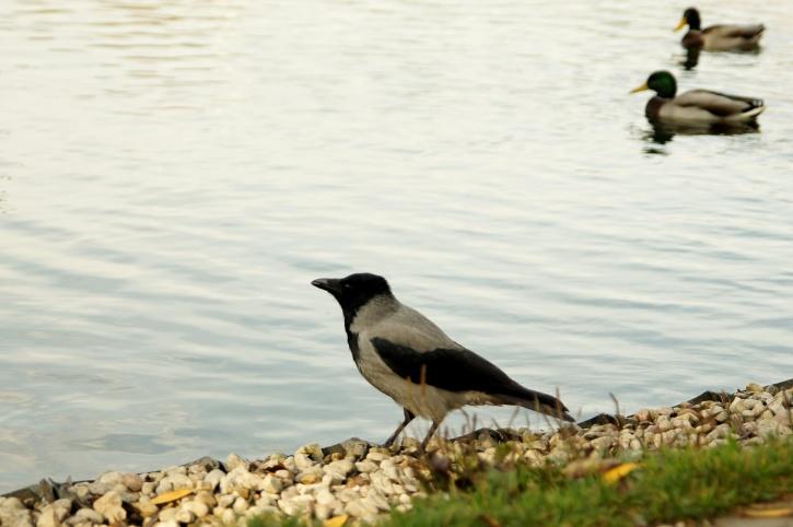 animal, crow, bird, shore, pond