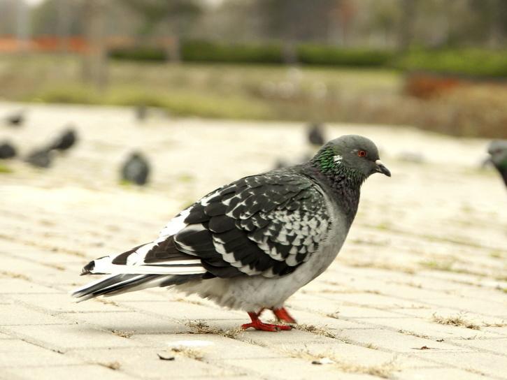 colorful pigeons, birds, park