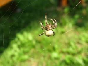 градина насекоми, паяк, паяжина