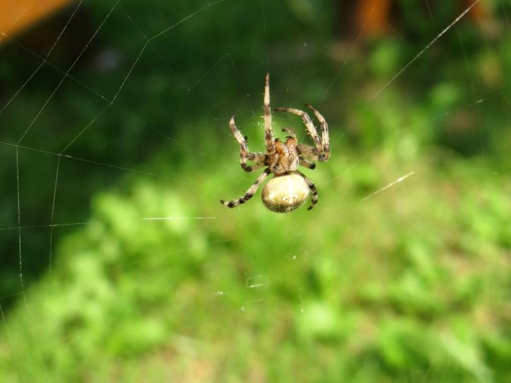 garden insect, spider, spider web