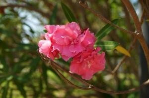 rosa, blomster, kronblad, vegetasjon, flora, pollen, hage