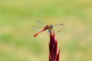 red, dragonfly, insect, wings, red flower