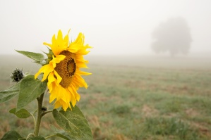 sunflower, foggy day, crops, agriculture