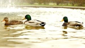 tri divlje patke, ptice, jezero, ribnjak, voda