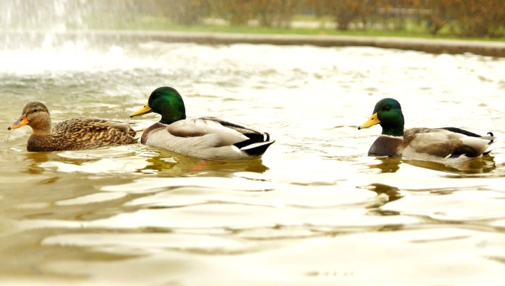 three wild ducks, birds, lake, pond, water