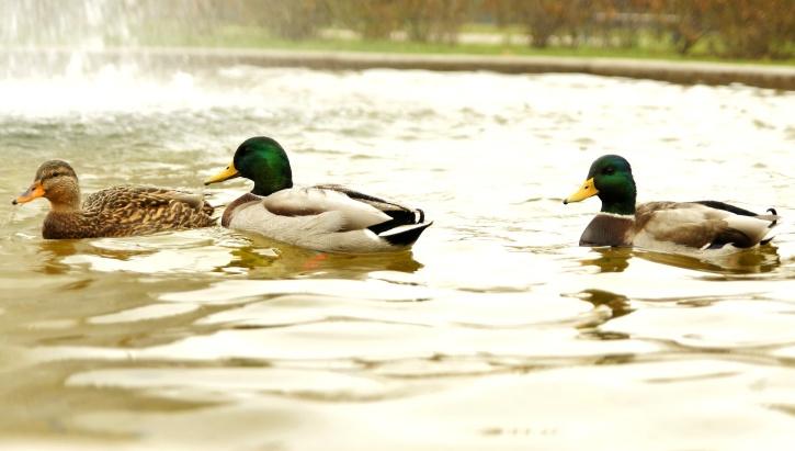 three wild ducks, birds, lake, pond, water