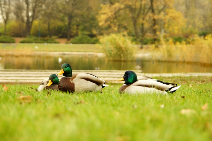 three wild ducks, birds, waterflowl, grass