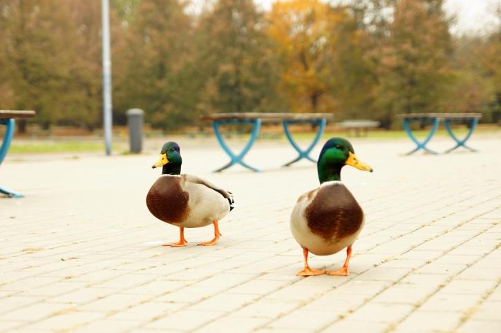 two ducks, birds, walking, urban, sidewalk