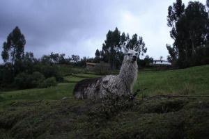 lama, alpaca, animale, campo, crepuscolo