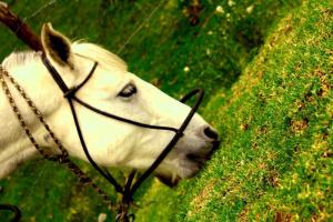 white horse, grazing, animal