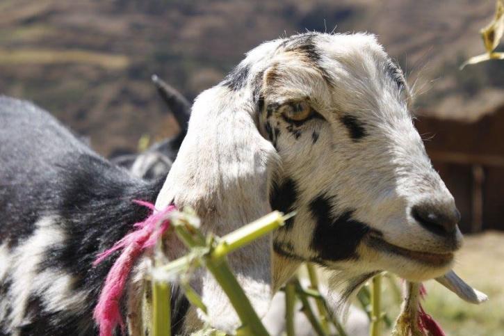 goat, animal, livestock