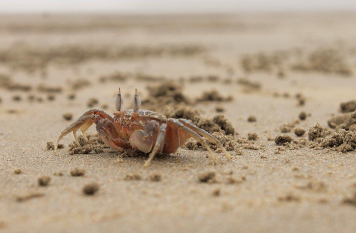 crab, beach, sand, animal