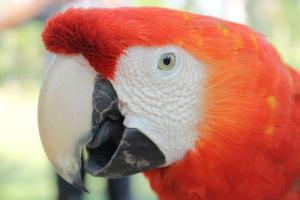 Papagáj Ara, portrét, hlava, červená peria, zobák, vták