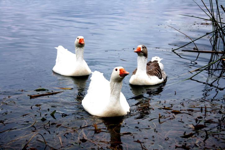 Ducks, lagoon, lake, birds, waterfowl