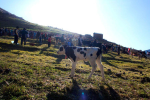 mucca, festa tradizionale, persone, folla, campo