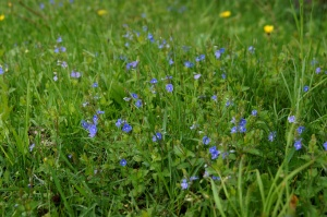 blue, flowers, flora, petals, bloom, meadow