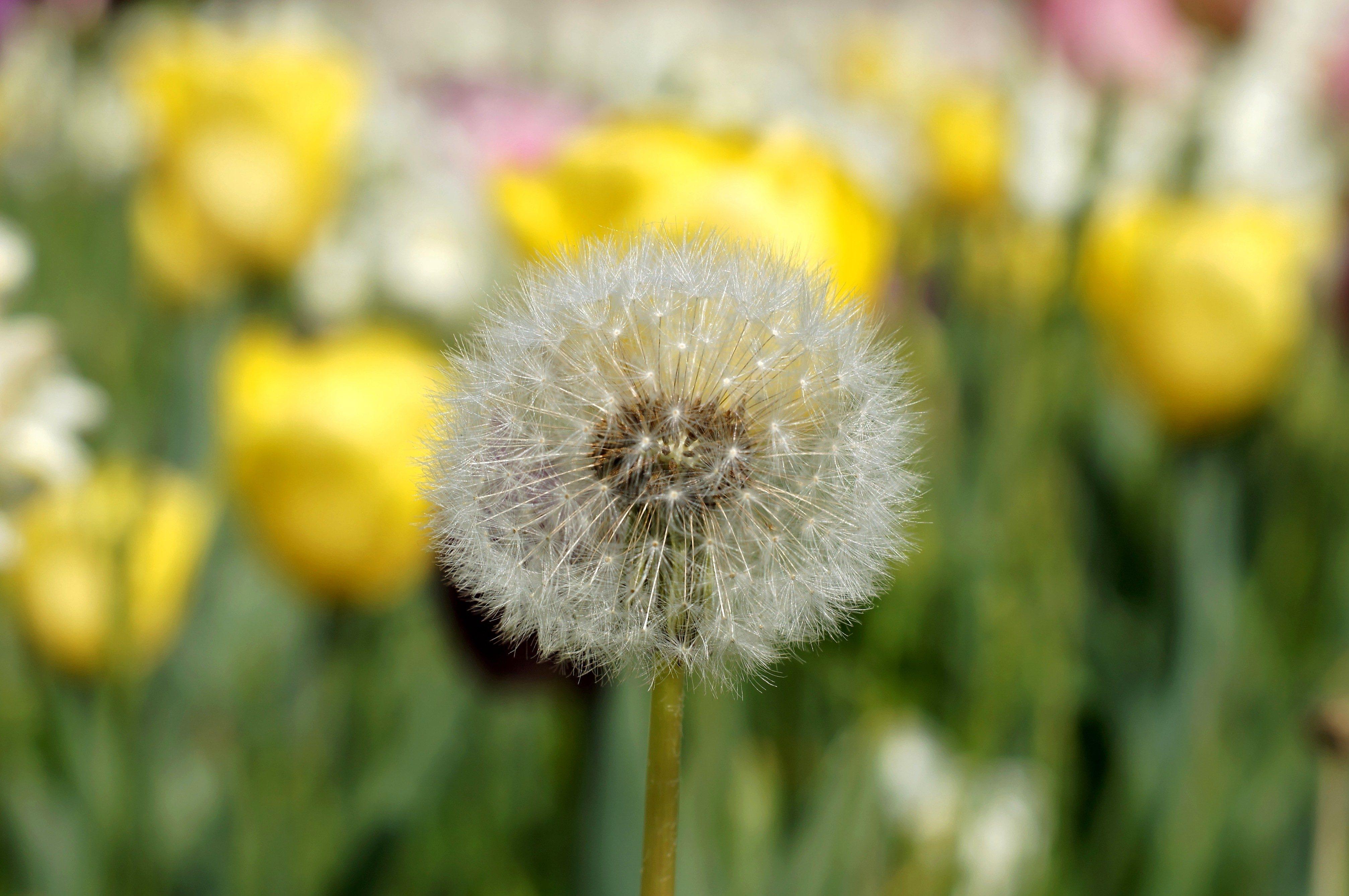 free picture: dandelion, flower, seed, flora, vegetation, spring