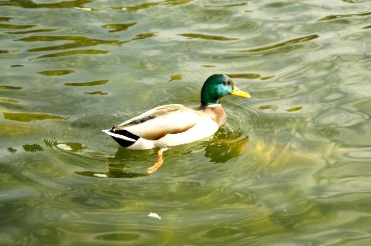 domestic duck, lake, sunshine, water