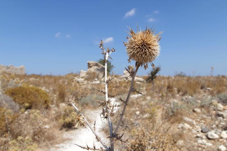 dried grass, thistle, summer, thorns