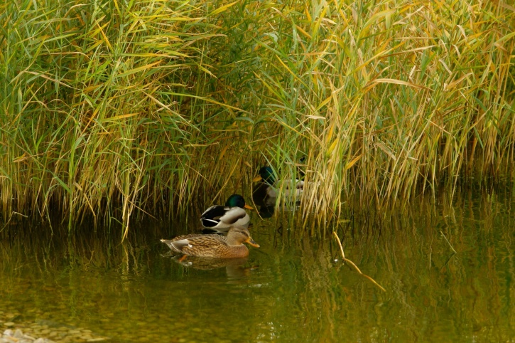 ducks, hiding, grass, swamp, lake, reed, waterfowl, birds, swamp