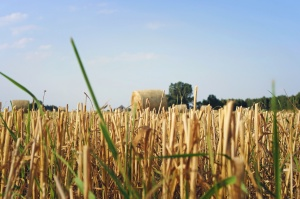 agriculture, field, summer time, grass, crops, hay