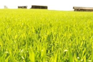campo di grano, la primavera, le colture, l'agricoltura