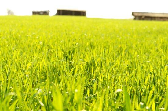 champ de céréales, le printemps, les cultures, l'agriculture