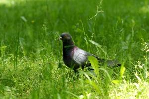 grey pigeon, bird, green grass