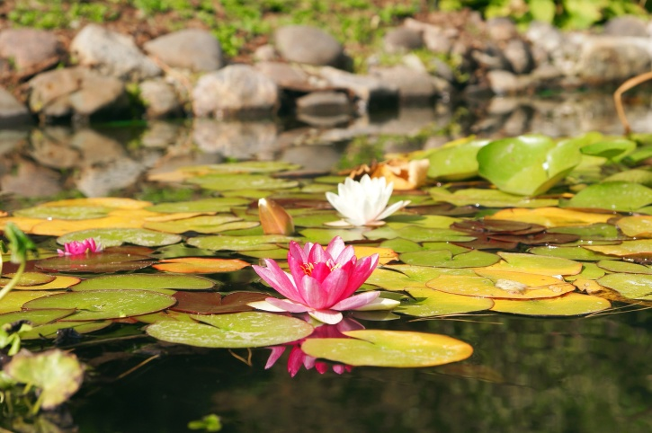 water lily, lilies, lotus, white, pink petals, flowers, water lilies, lake, garden