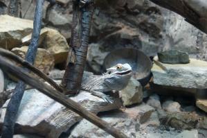 lizard, animal, pet, terrarium