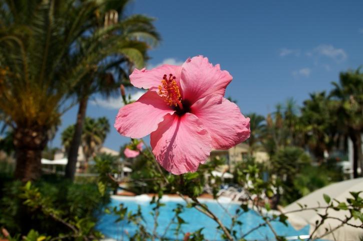 pink, flower, swimming pool, summer time, petals, vegetation