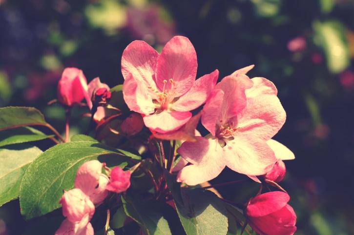 pink, flowers, flora, petals, bloom, branches, garden