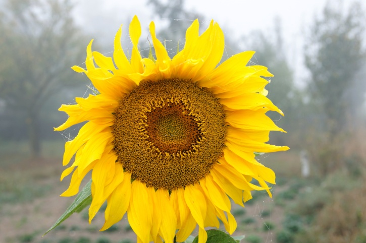 sunflower, flower, yellow petals, agriculture