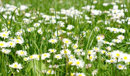 white flowers, field, summer, green grasss, daisies, grass