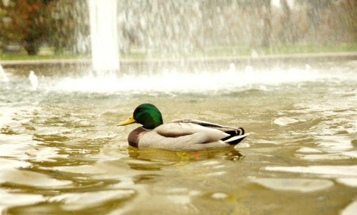 wild duck, animal, bird, waterfowl, green, head