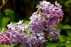 purple, petals, spring, vegetation, lilac, bush, flowers, shrub,